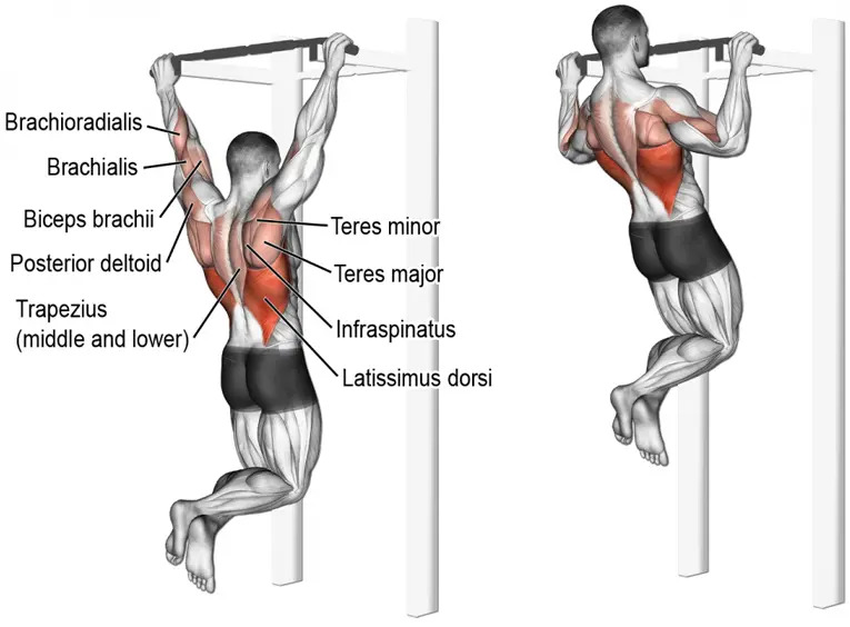 Muscles Involved During Pull Ups - Healthcare Blog